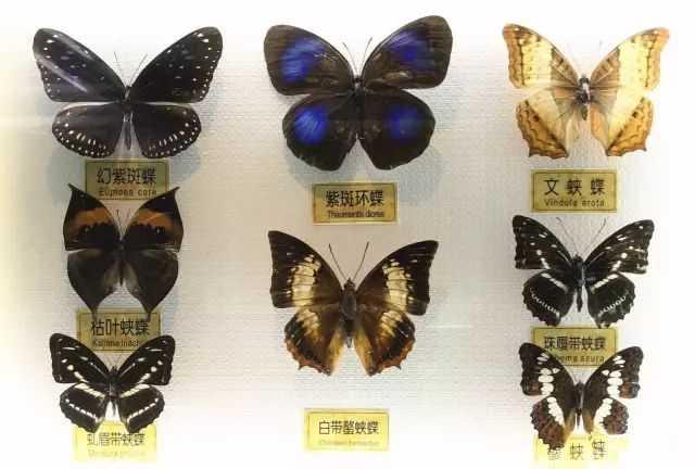 通过展示珍稀昆虫标本,美轮美奂照片,神奇可爱视频,仿生模型以及昆虫